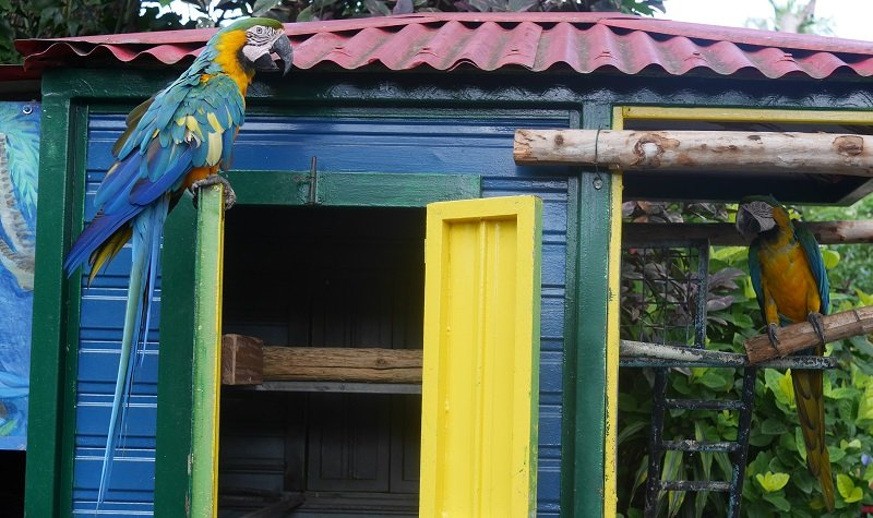 perroquets jardin botanqiue deshaies