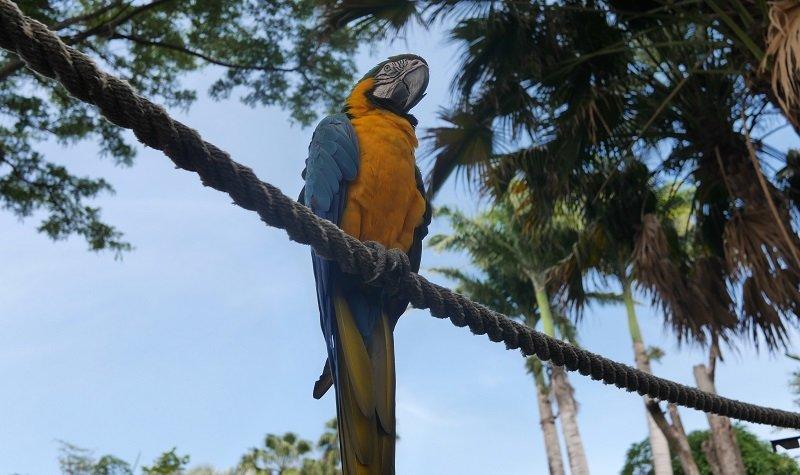 perroquet jardin botanique deshaies