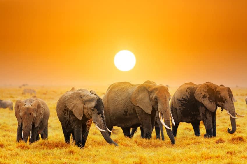 éléphants ambolesi