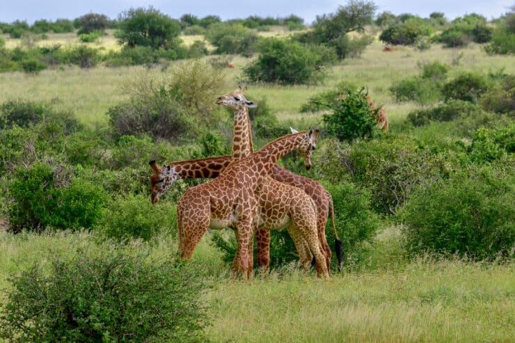 girafes à amboseli