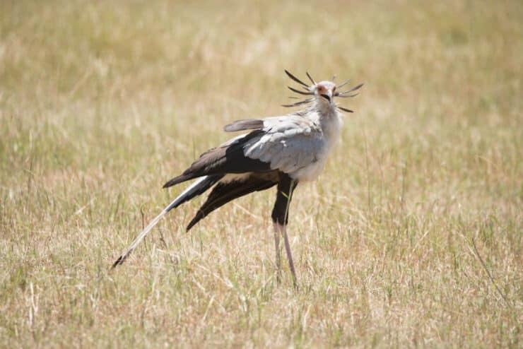 oiseau secrétaire ambolesi