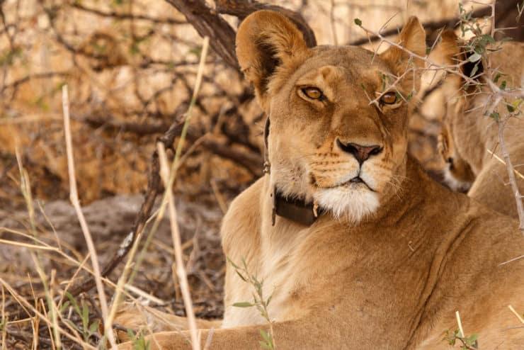 delta de l'okavango lion