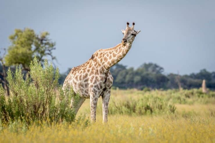 delta de l'okavango girafe