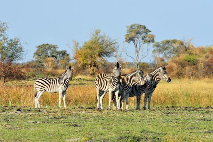 delta de l'okavango zèbres