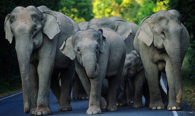 Khao Yai éléphants
