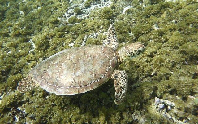 tortue plongée guadeloupe