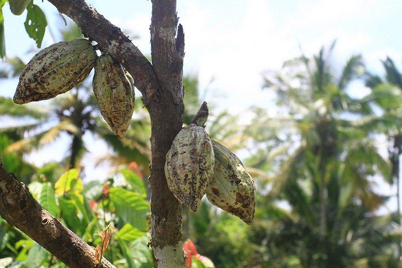 Jatiluwih cacao