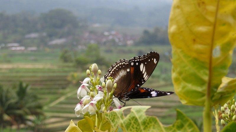 Jatiluwih papillon
