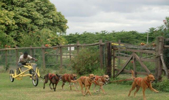 chien traineau jamaique