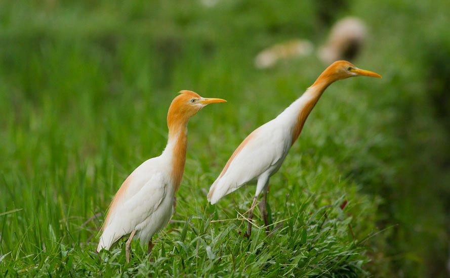 oiseaux kokokan ubud