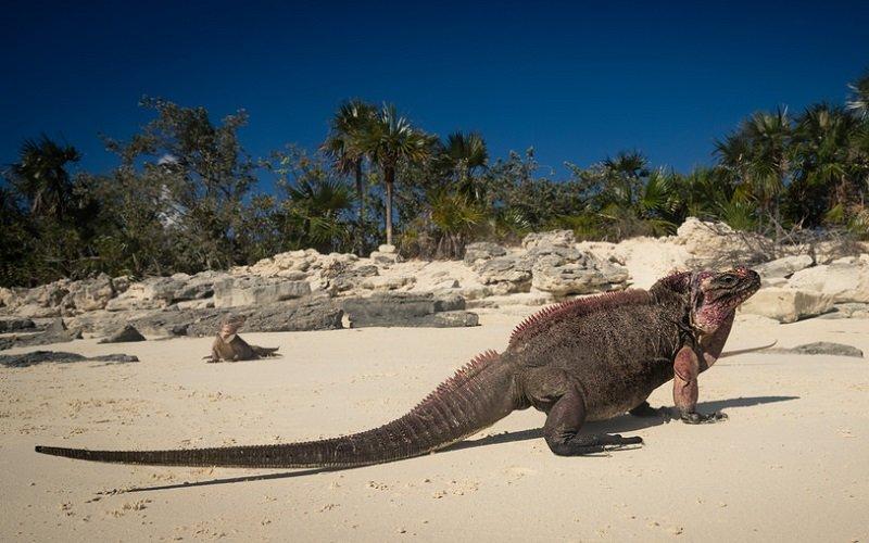 iguane bahamas