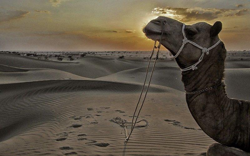 chameau jaisalmer
