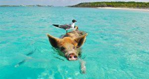 nager avec des cochons