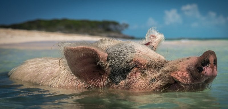 nager cochon bahamas