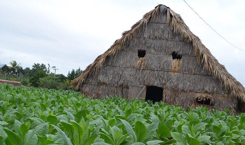 cabane séchage tabac cuba
