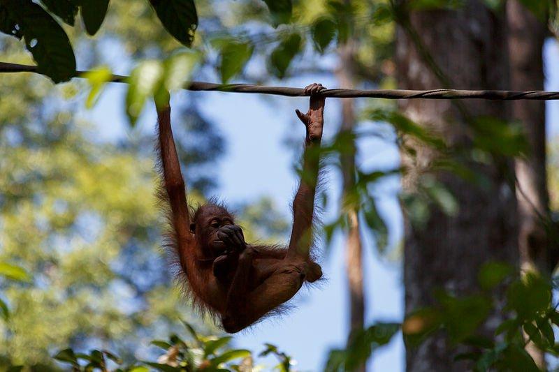 Centre de réhabilitation orangs-outans Sepilok