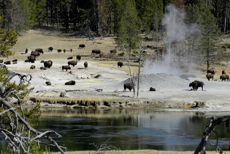 bisons mud volcano