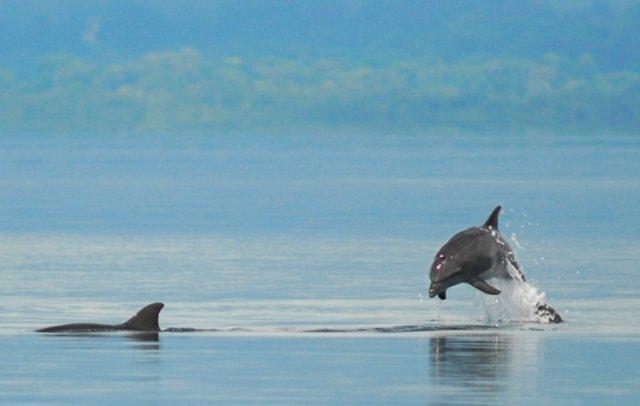 dauphins golfo duce