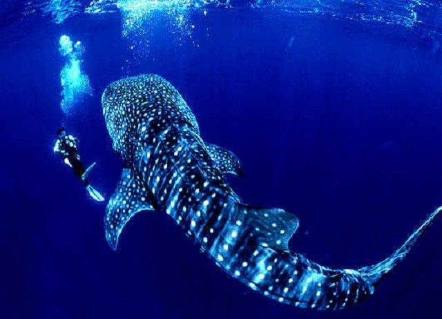 requin baleine isla del cano