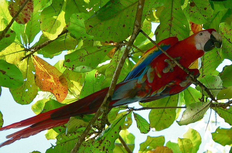 perroquet macao