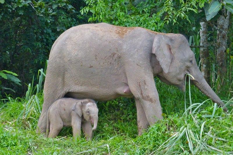 rivière Kinabatangan elephant