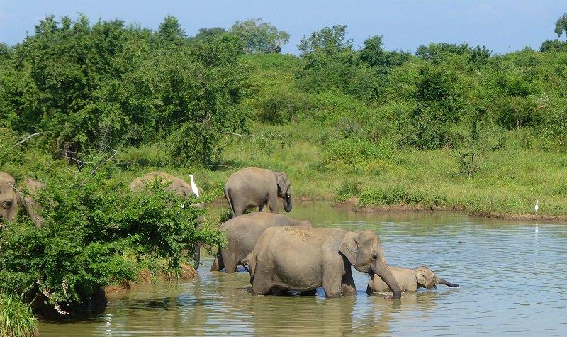 Uda Walawe éléphants