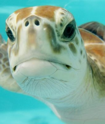ou nager avec les tortues dans les caraibes
