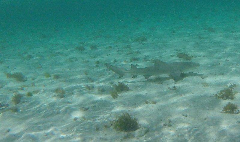 requin citron petite terre
