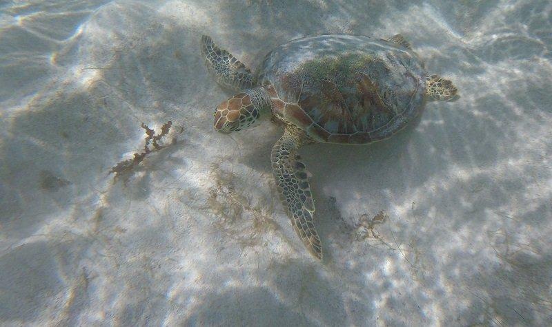 tortue imbriqué petite terre
