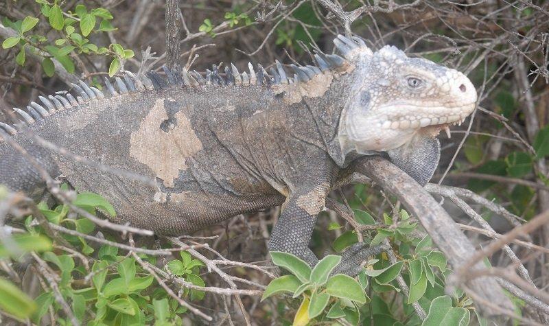 iguane petite terre