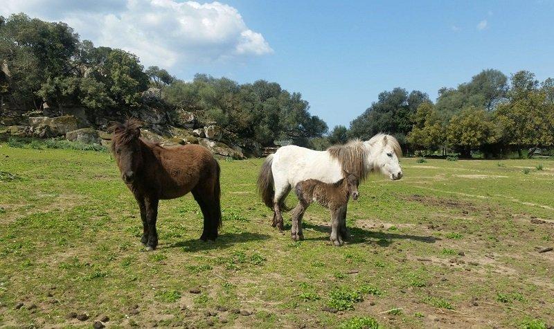 cheval sartène