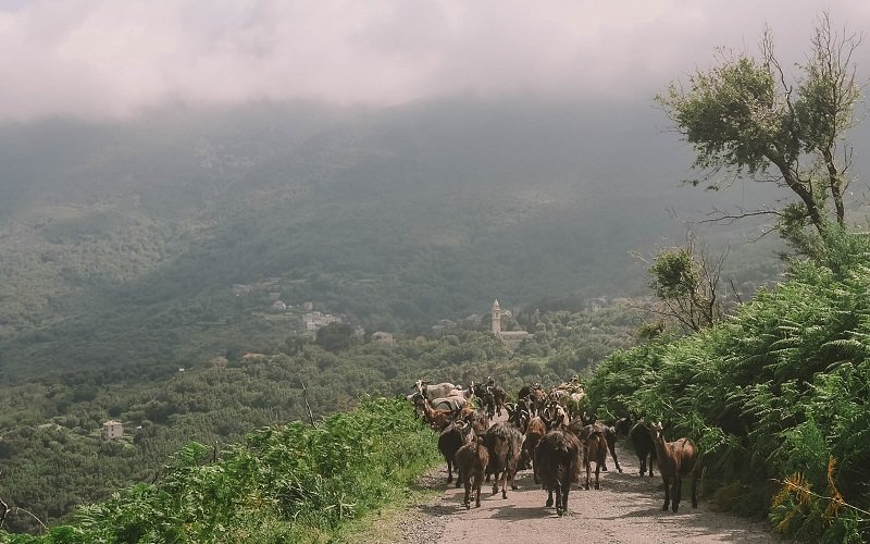 chèvres sisco
