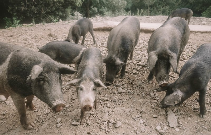 cochons corse