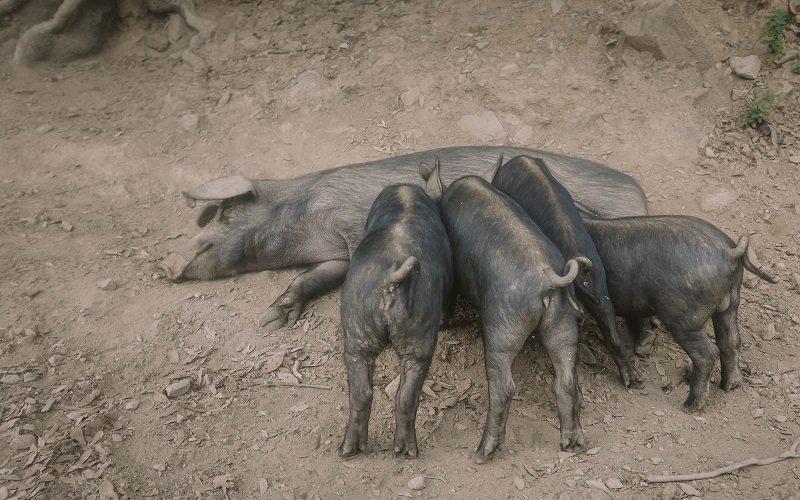 cochon route corse