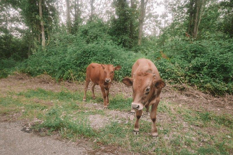 vaches route corse