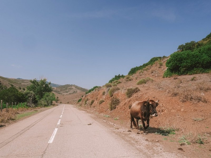 vache route corse