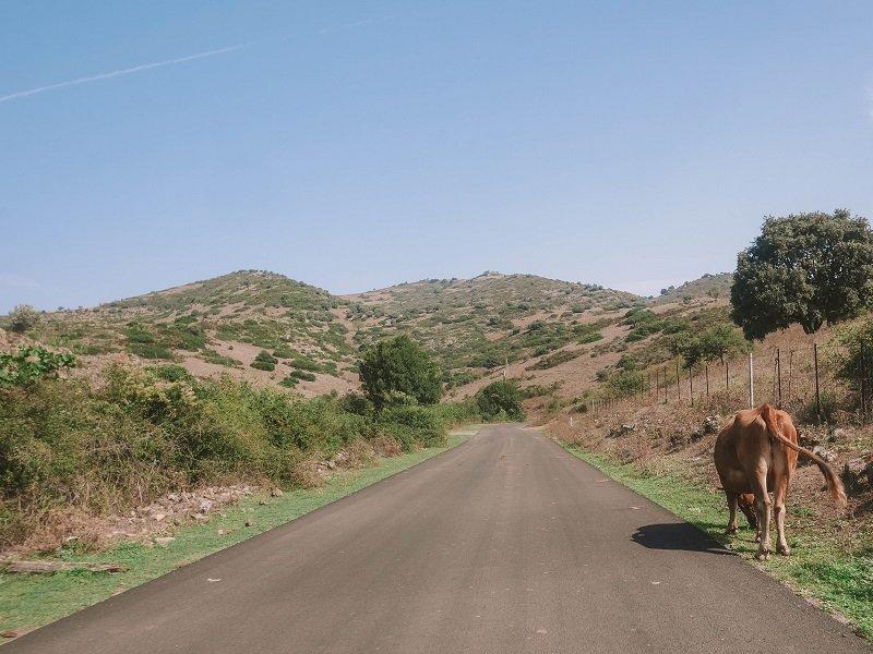 route corse vache