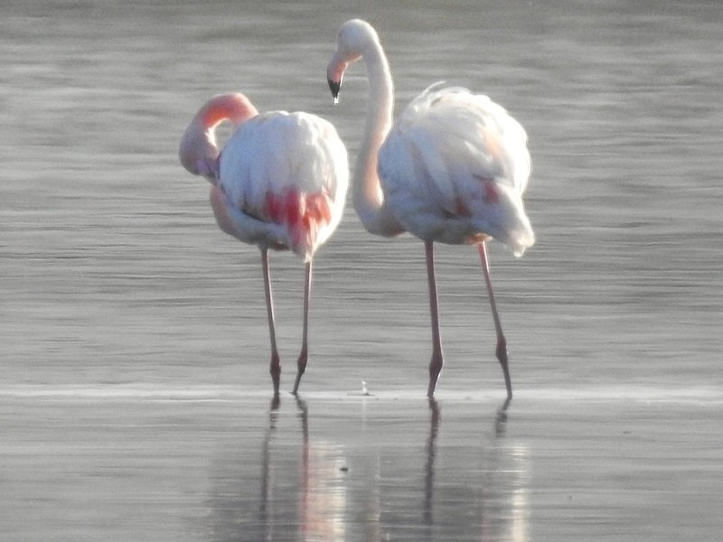 flamants roses corse