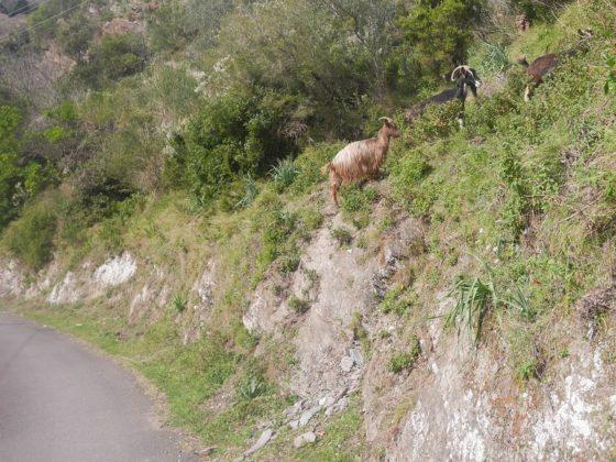 chèvres route corse