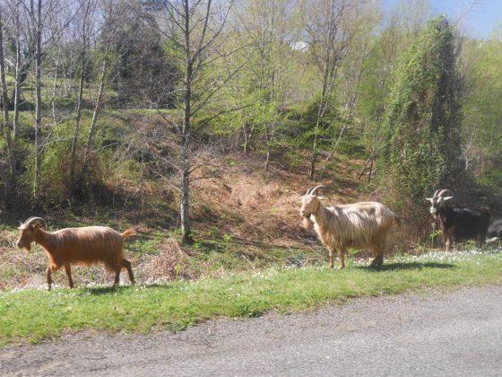 chèvre route corse