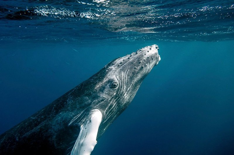 baleine à bosse caraibes