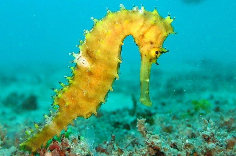 plongée caraibes hippocampe