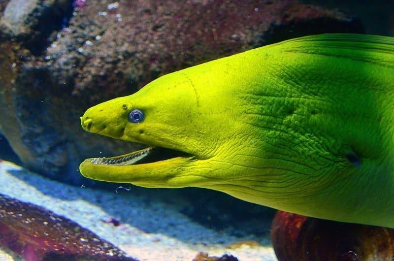 plongée caraibes murène