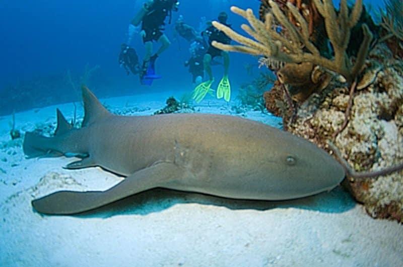 requin nourrice antilles