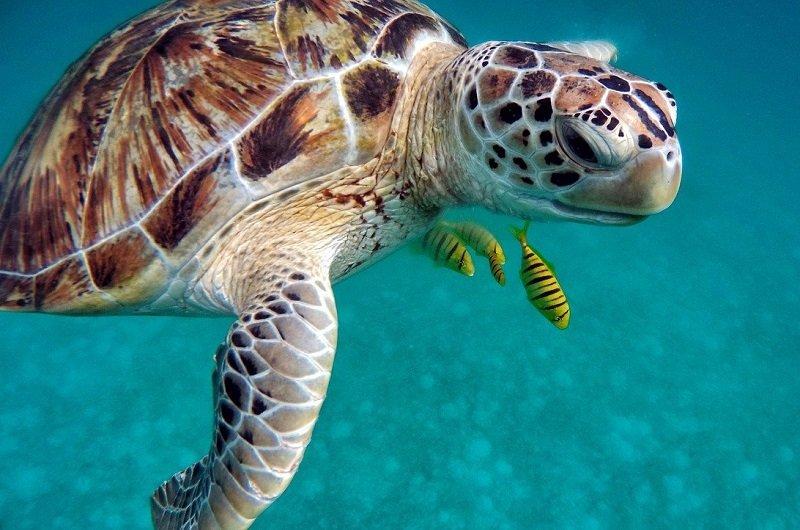 tortue caraibes