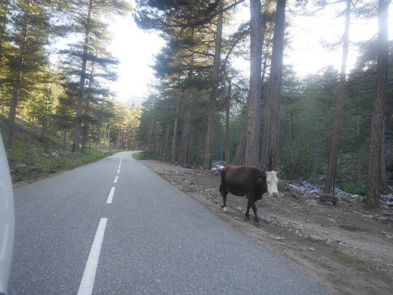 vache route asco