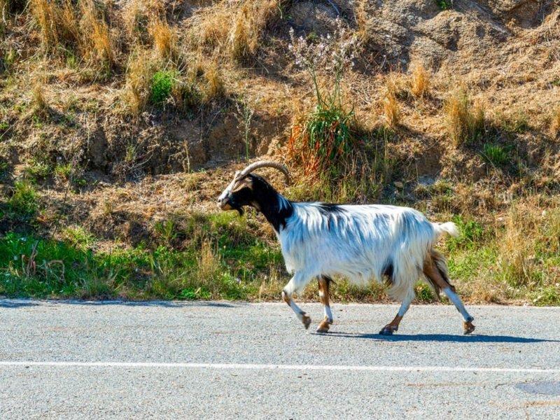 chèvre route sardaigne