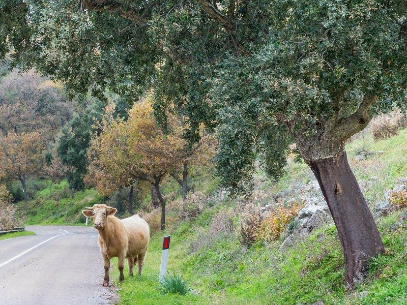 vache route sardaigne