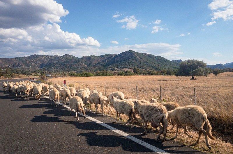 moutons route sardaigne