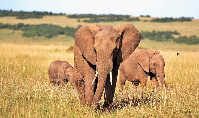 safari éléphants